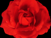 red-rose-flower